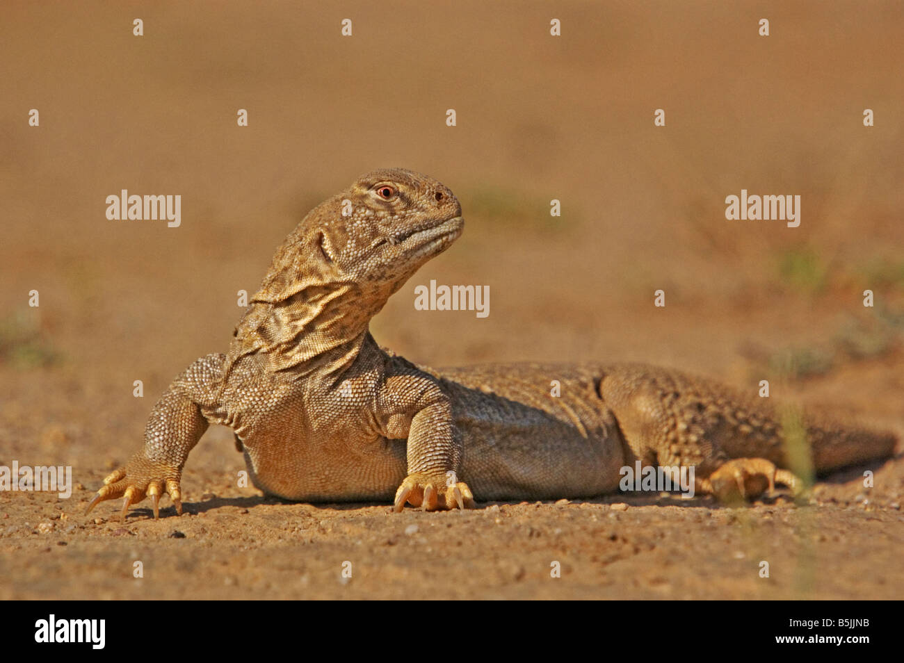 spiny tailed lizard Uromastyx hardwickii on the ground in the desert of kutch, in Gujarat, India - Stock Image