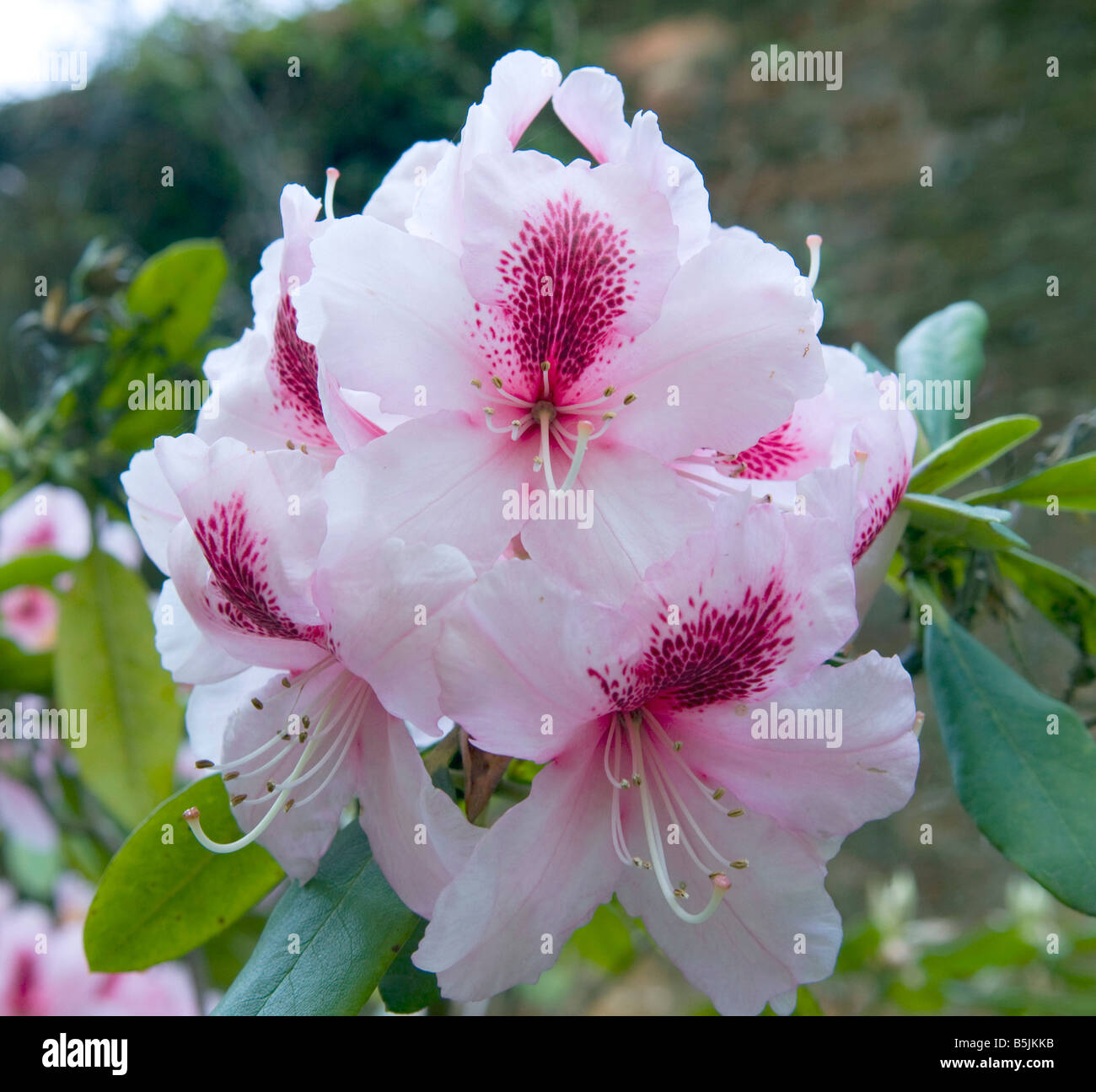 Rhododendron `Mrs G W Leak` - Stock Image
