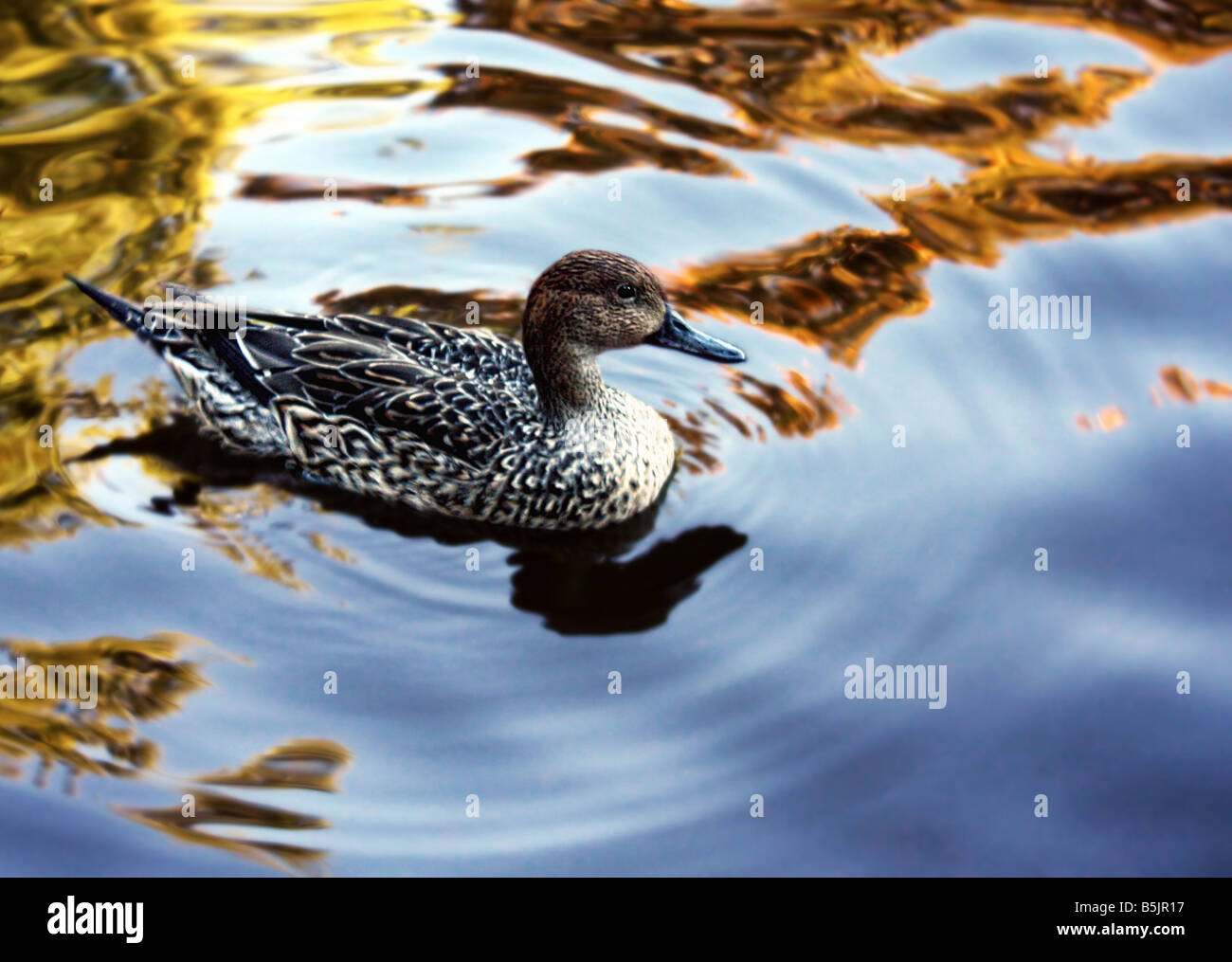 USA A duck swims across a reflection pond Duck is the common name for a number of species in the Anatidae family - Stock Image