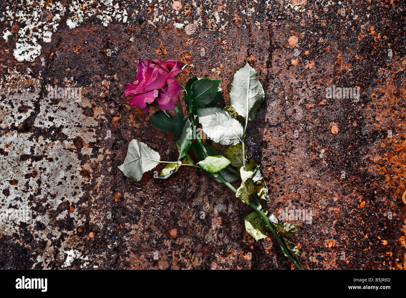 Withered rose - Stock Image