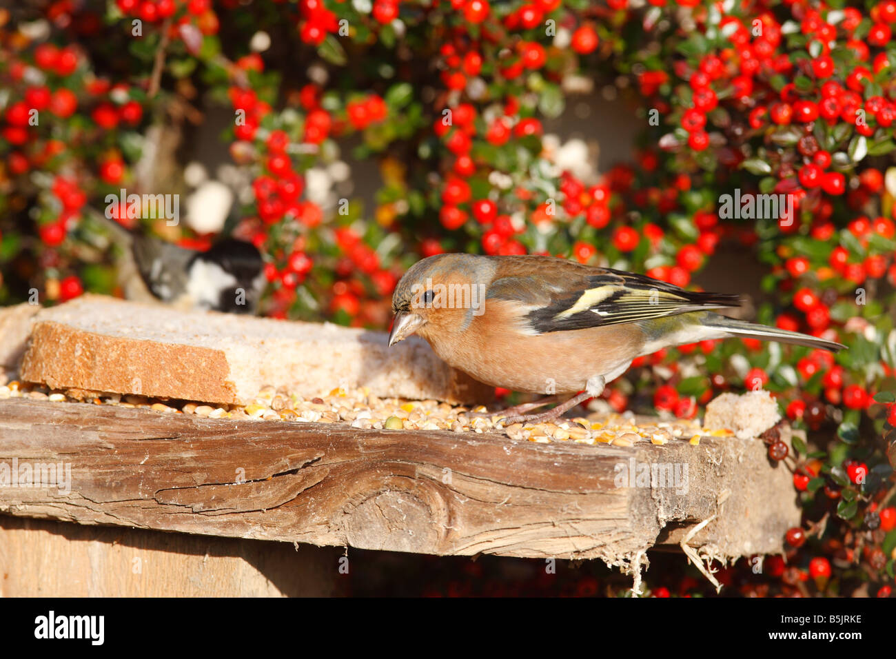 CHAFFINCH Fringilla coelebs MALE ON BIRD TABLE - Stock Image