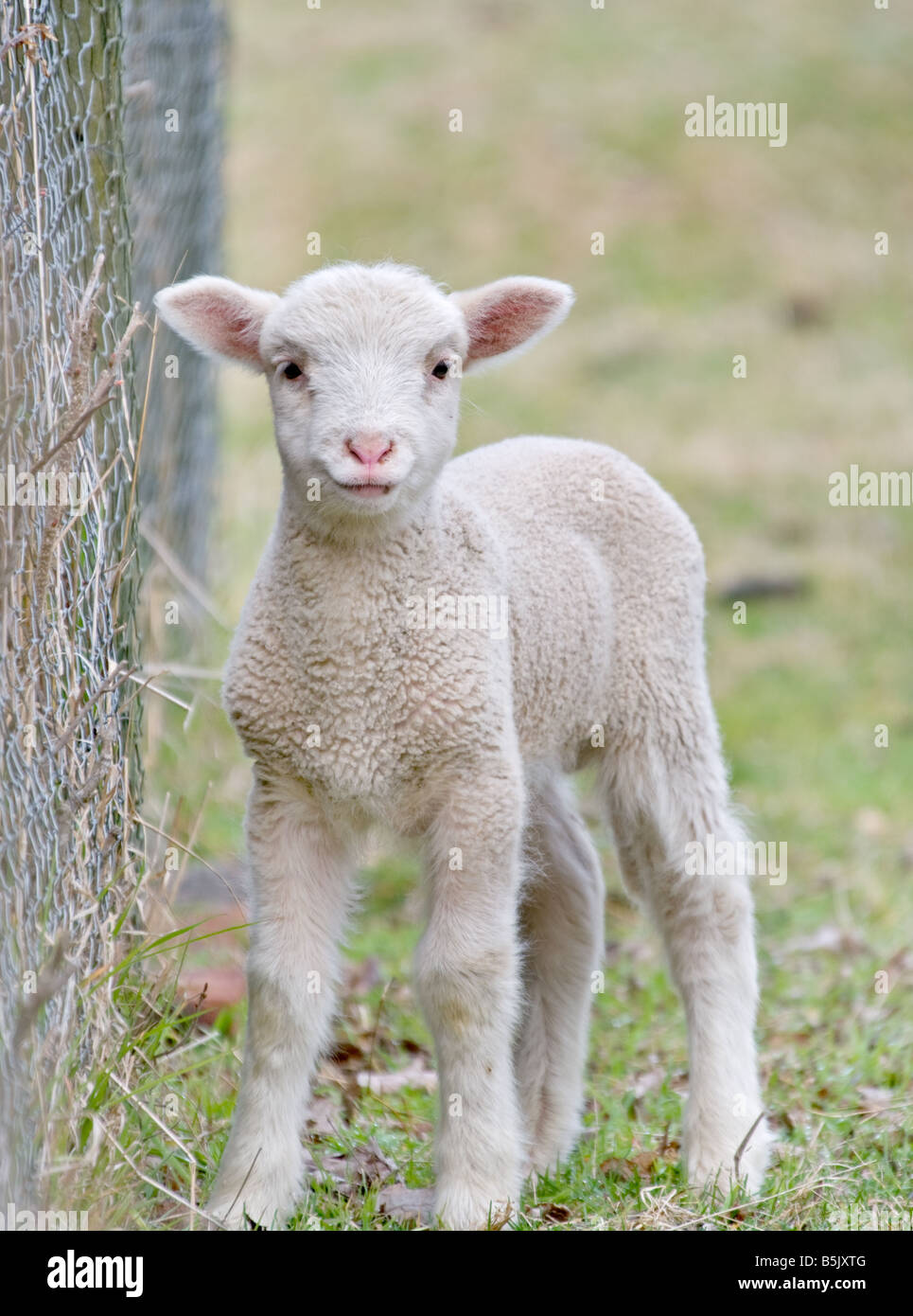 great image of a cute baby lamb - Stock Image