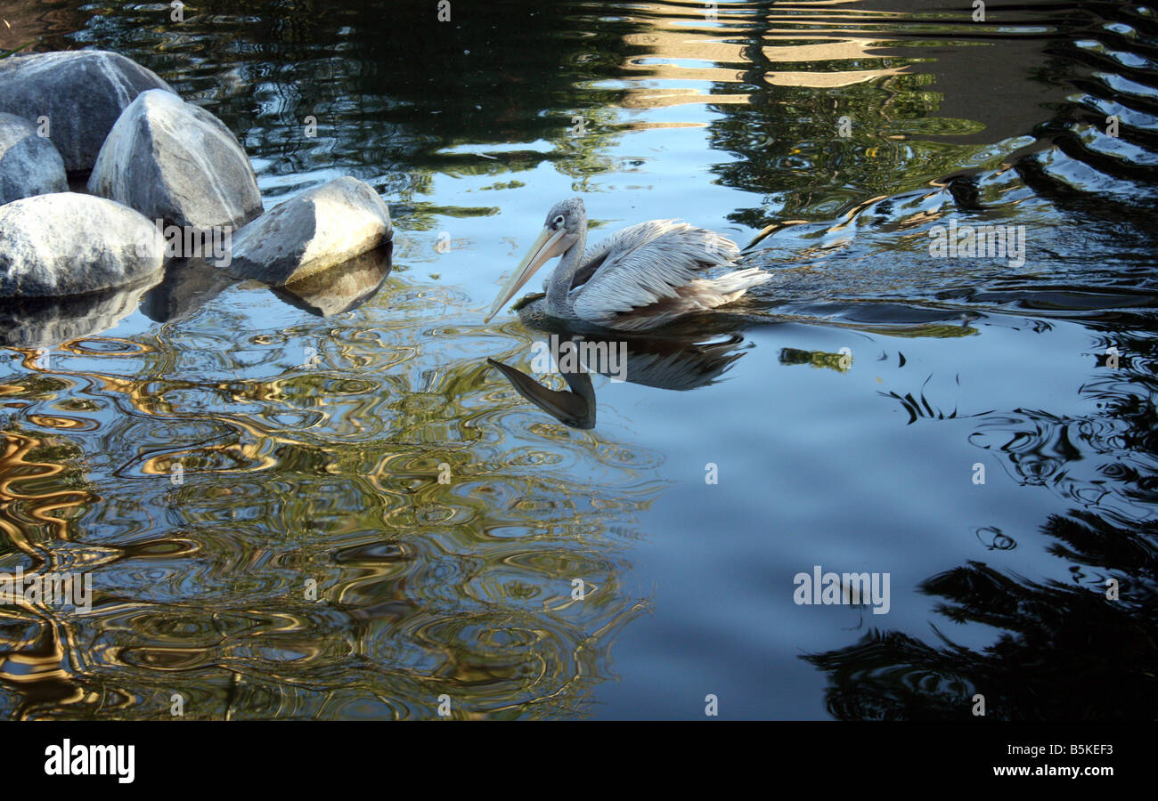 USA A pink-backed pelican swims across a reflection pond - Stock Image