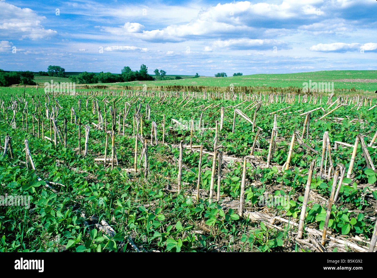 Soybeans growing in 'no till'  dirty field. - Stock Image