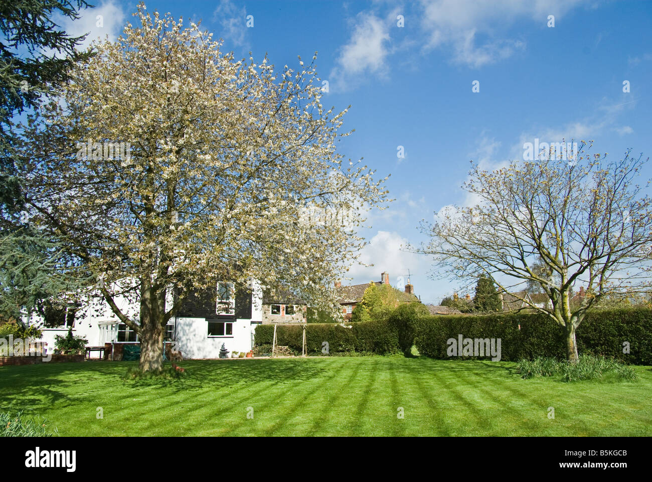 A spring garden with flowering wild cherry and newly mown lawnt - Stock Image
