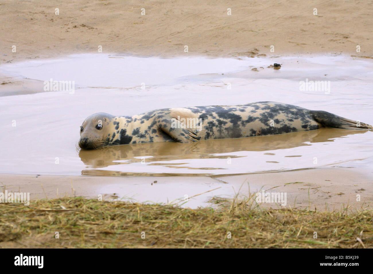 Grey Seal Halichoerus grypus single adult female lying in water on beach Taken November North Lincolnshire U K Stock Photo