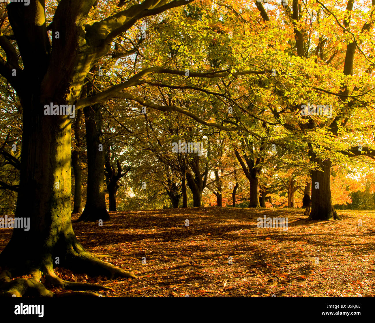 Trees on a sunny autumn day in Britain - Stock Image