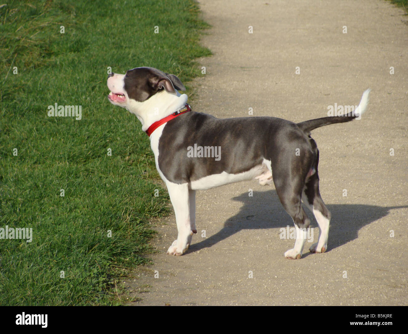 A Staffordshire bull terrier(blue). - Stock Image
