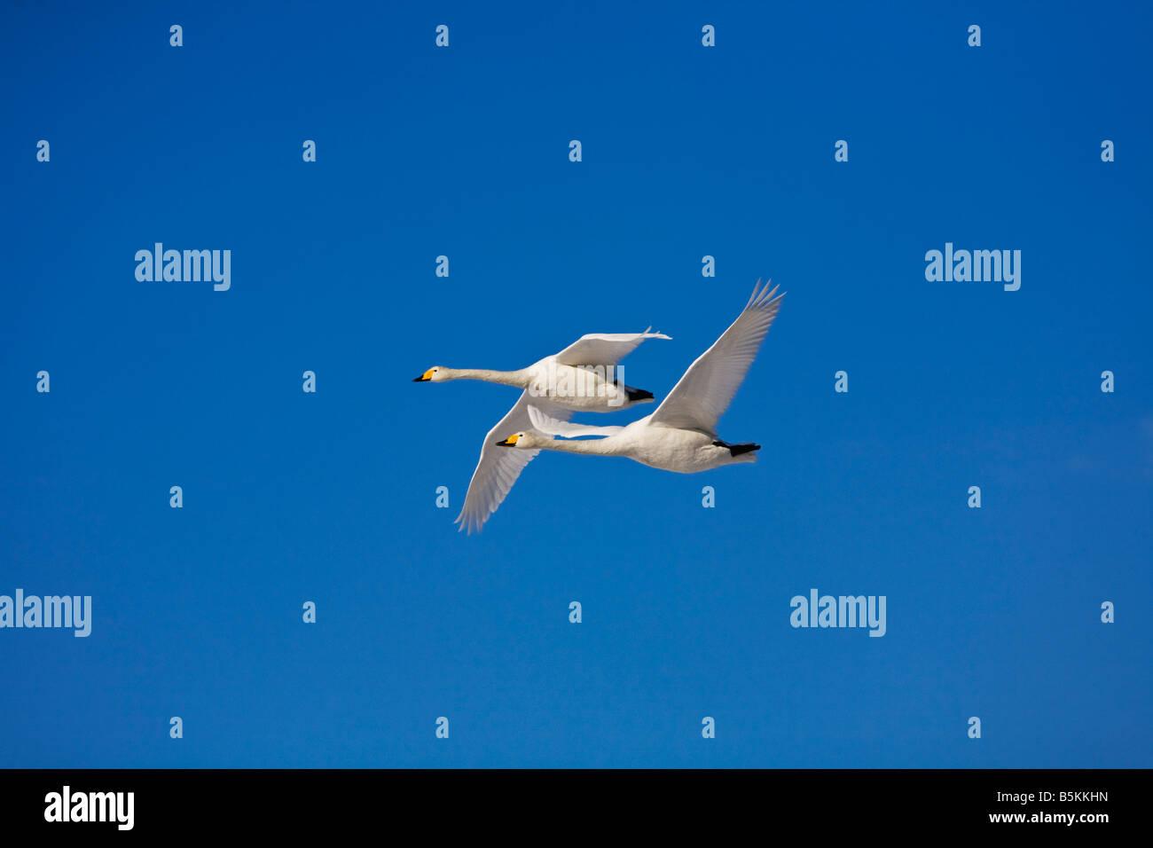 Hokkaido Japan Whooper Swans Cygnus cygnus flying in a blue sky Lake Kussharo Akan National Park - Stock Image