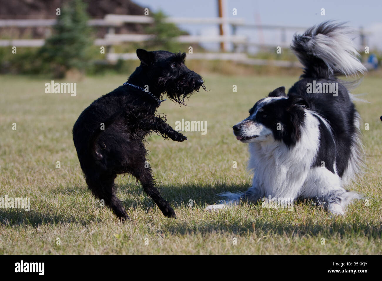 Scottish terrier and border collie playing with each other in the Stock  Photo - Alamy