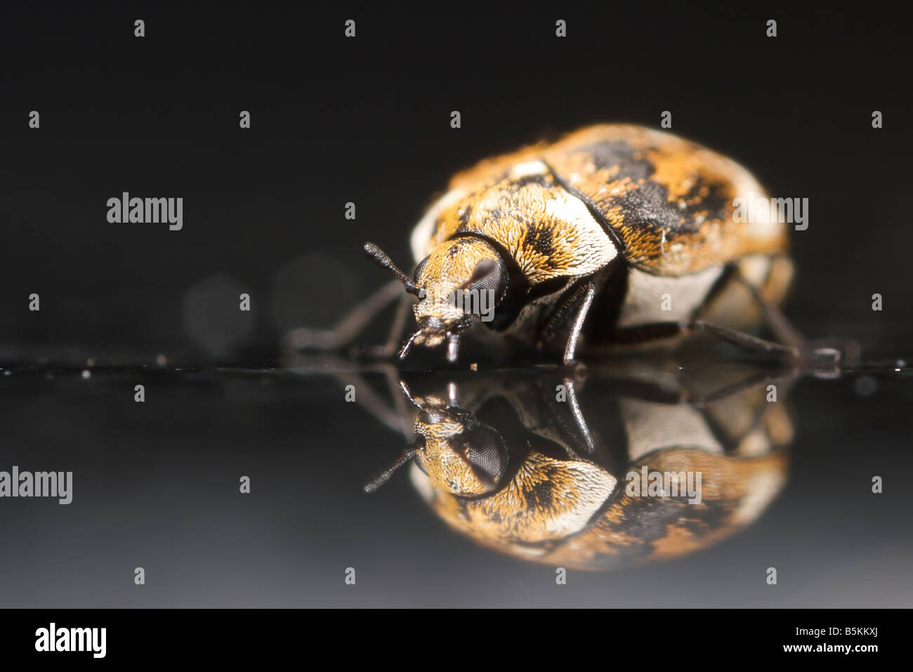 A varied carpet beetle sits on a reflective granite surface.  Photo is approximately 4x life size. Stock Photo