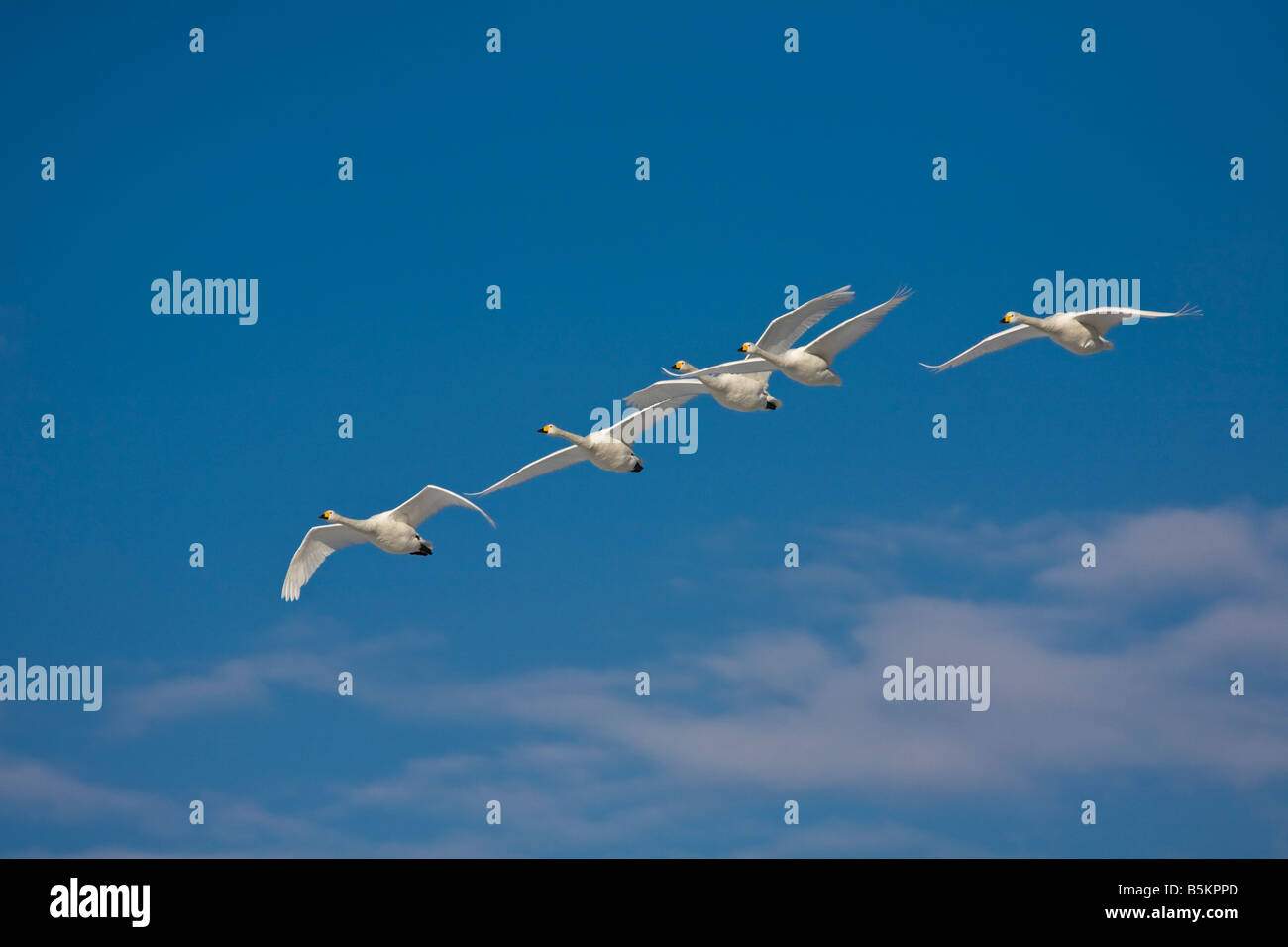 Hokkaido Japan Whooper Swans Cygnus cygnus flying in a formation over Lake Kussharo Akan National Park - Stock Image