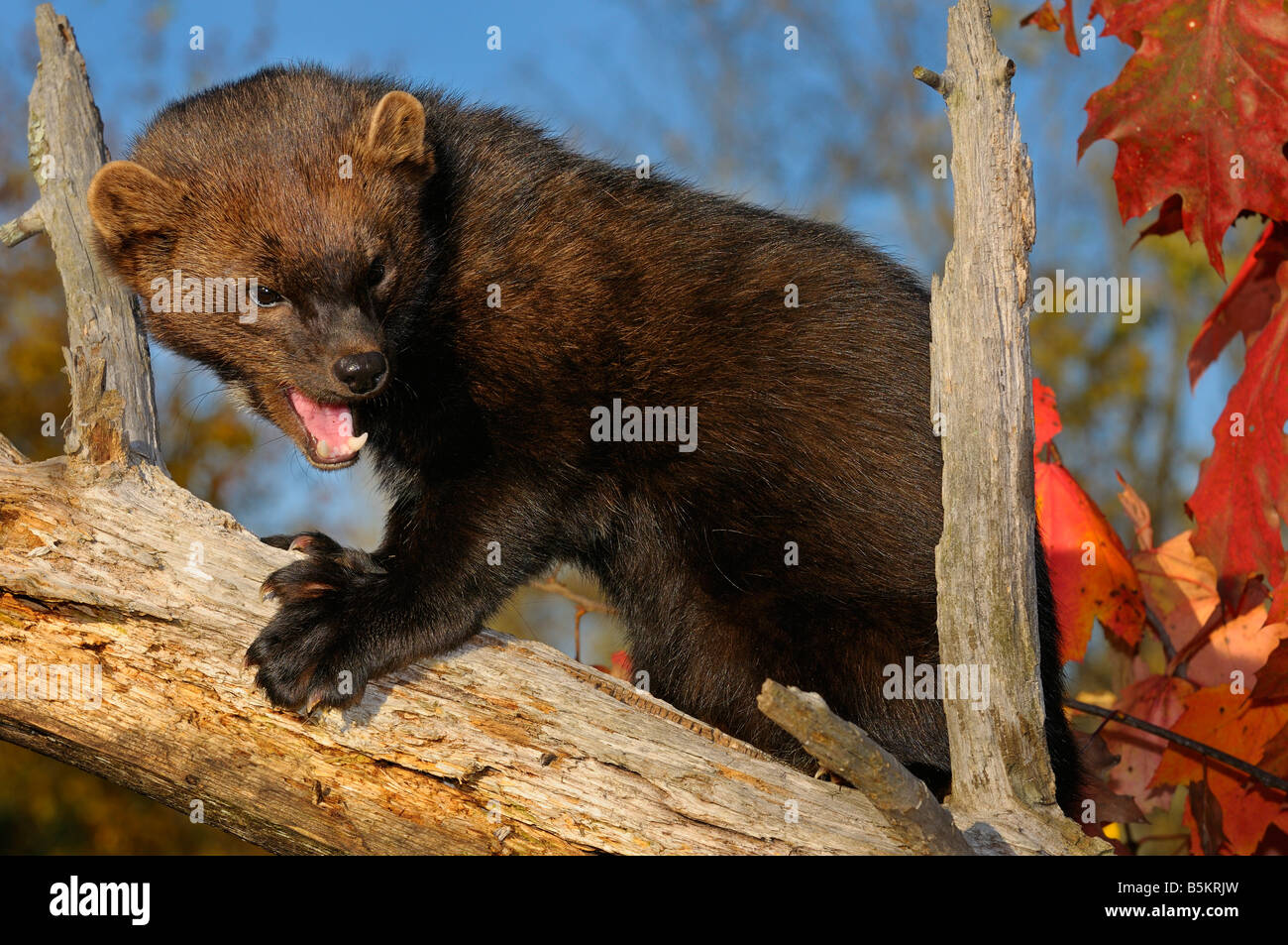 North American Marten Or Fisher Baring Teeth And Claws While Climbing Stock Photo Alamy