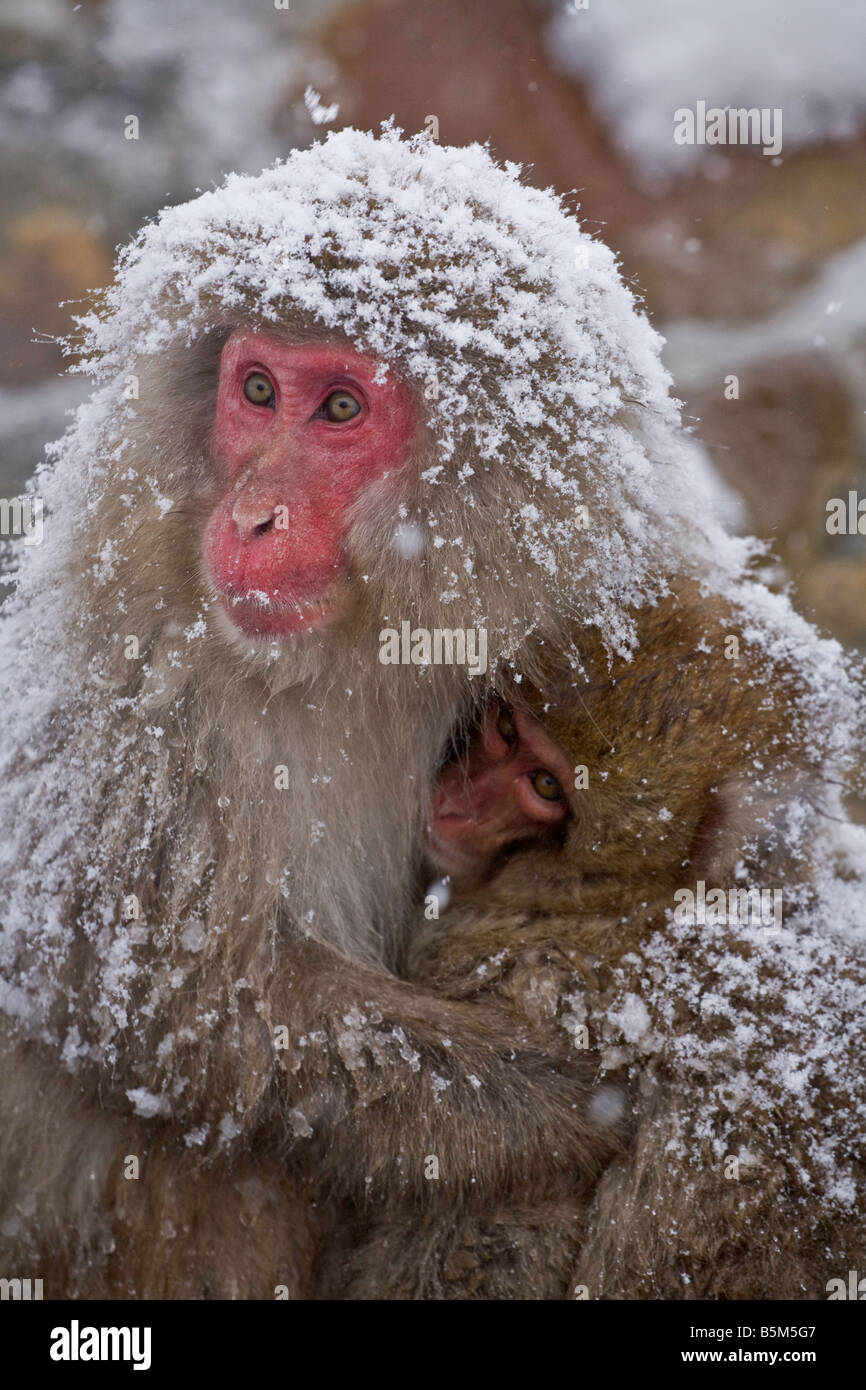 Jigokudani National Monkey Park, Nagano, Japan: Japanese Snow Monkeys (Macaca fuscata) in winter Stock Photo