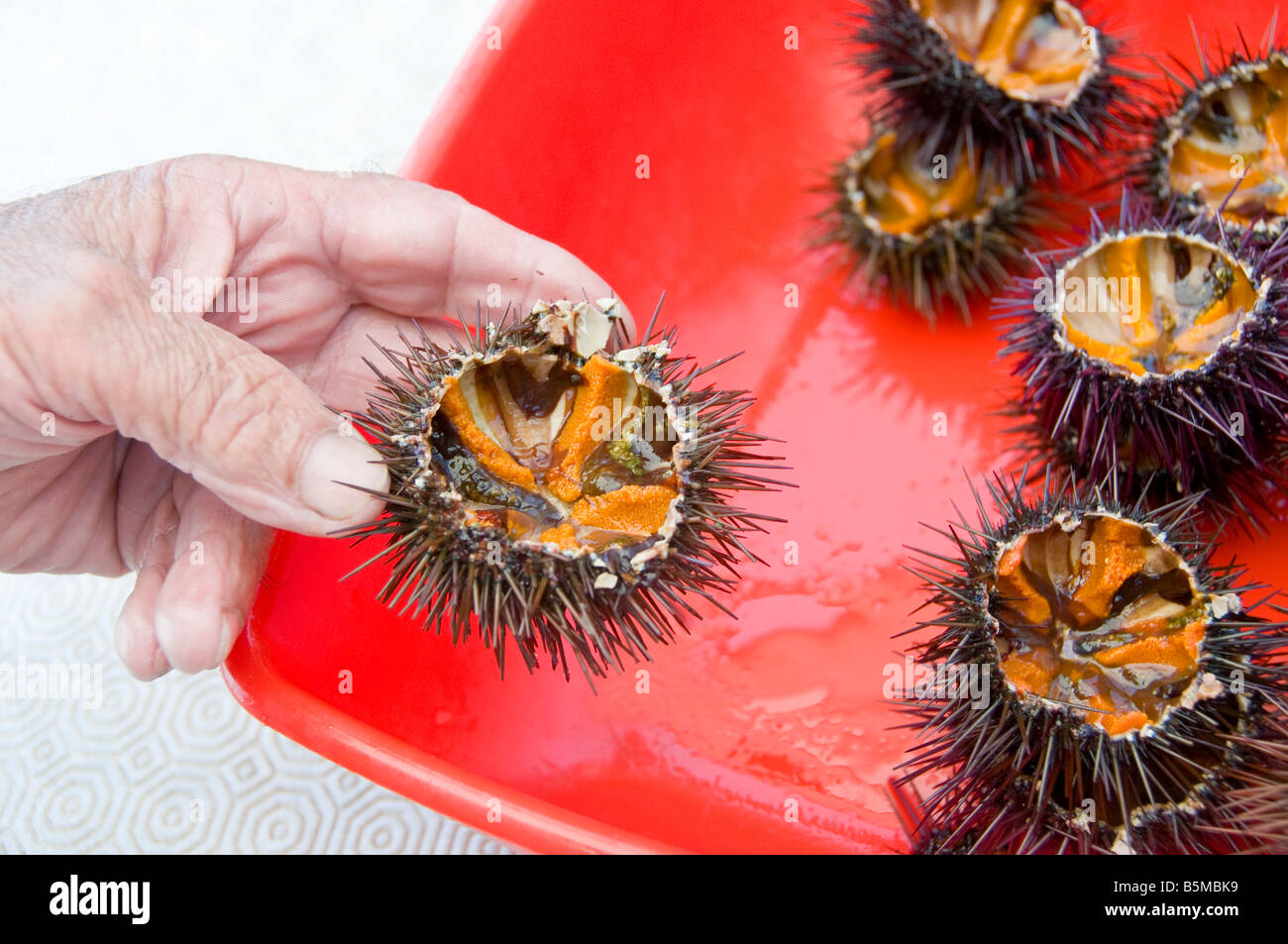 Hand holding sea urchin up close. - Stock Image