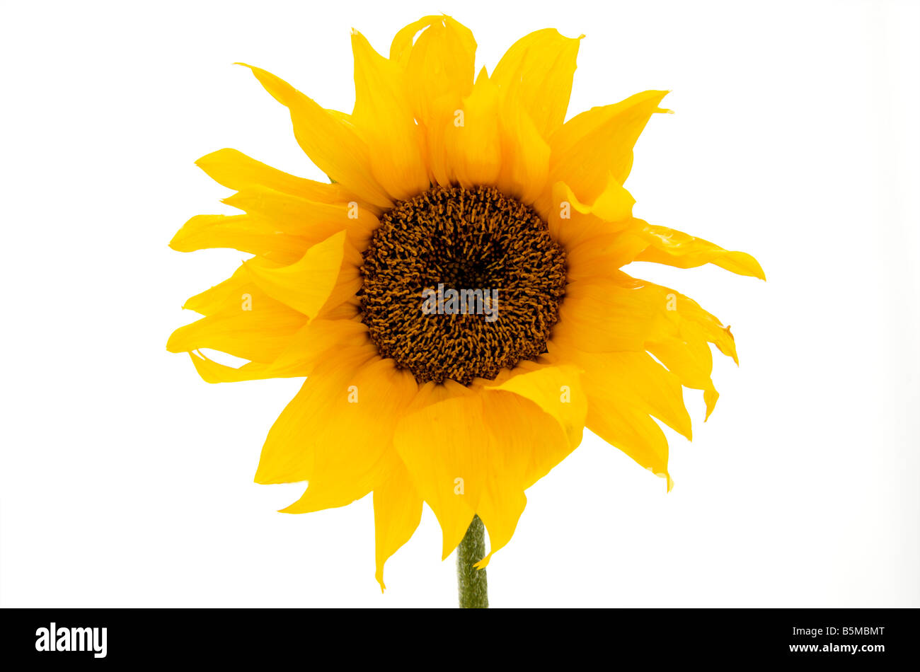 sunflower plants head against a white background - Stock Image