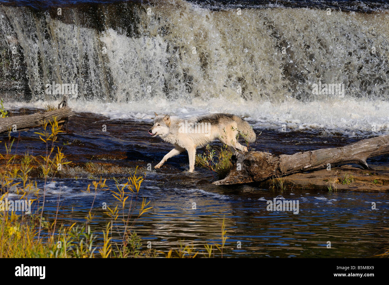 Gray Wolf hunting on the Kettle River below a waterfall in Banning State Park Minnesota - Stock Image