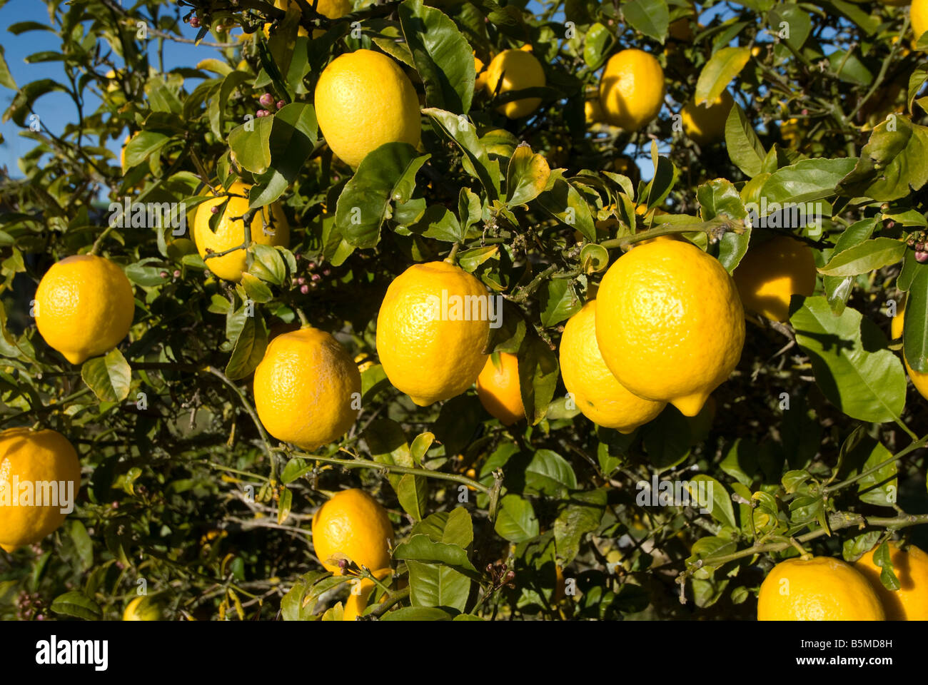 Lemons on a tree in Tolaga Bay, New-Zealand. - Stock Image