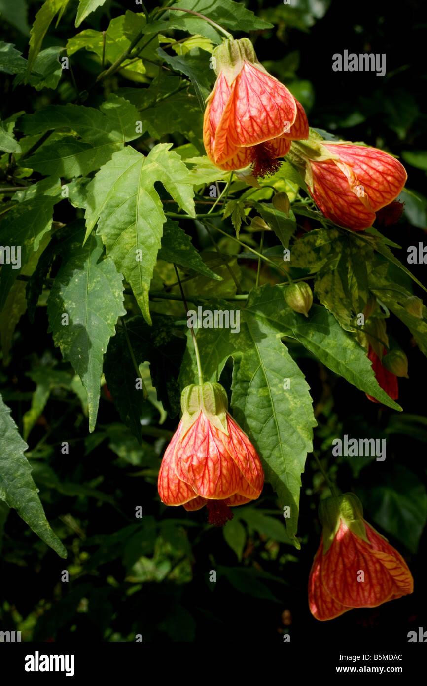 Red Vein Indian Mallow Abutilon Pictun Flowers Stock Photo