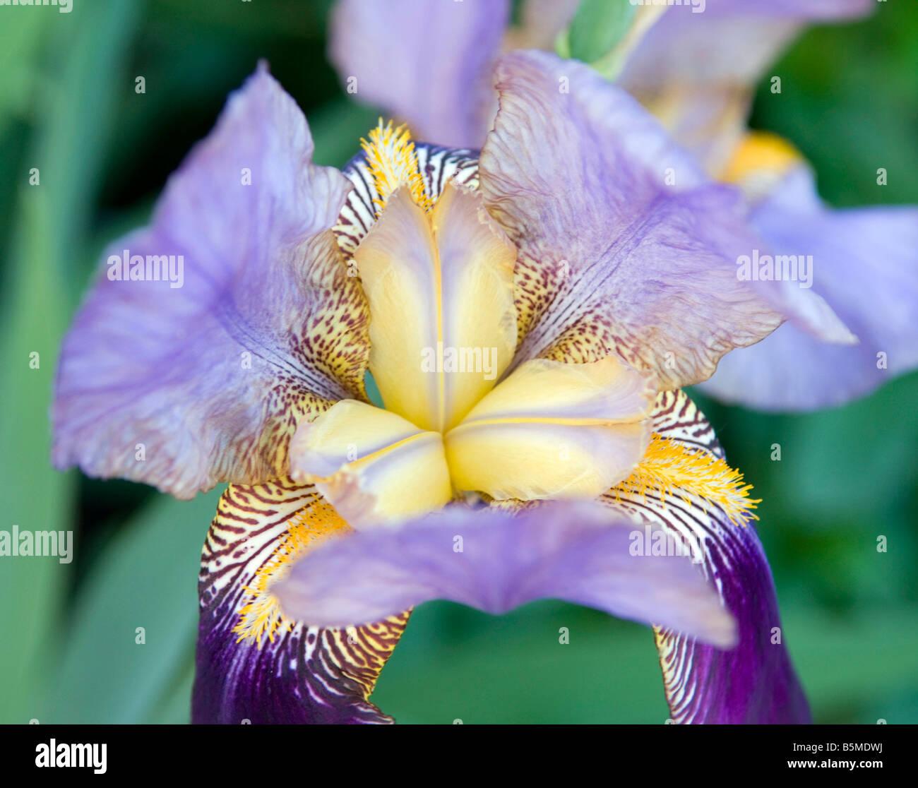 Bearded Iris Iridaceae Flag - Stock Image