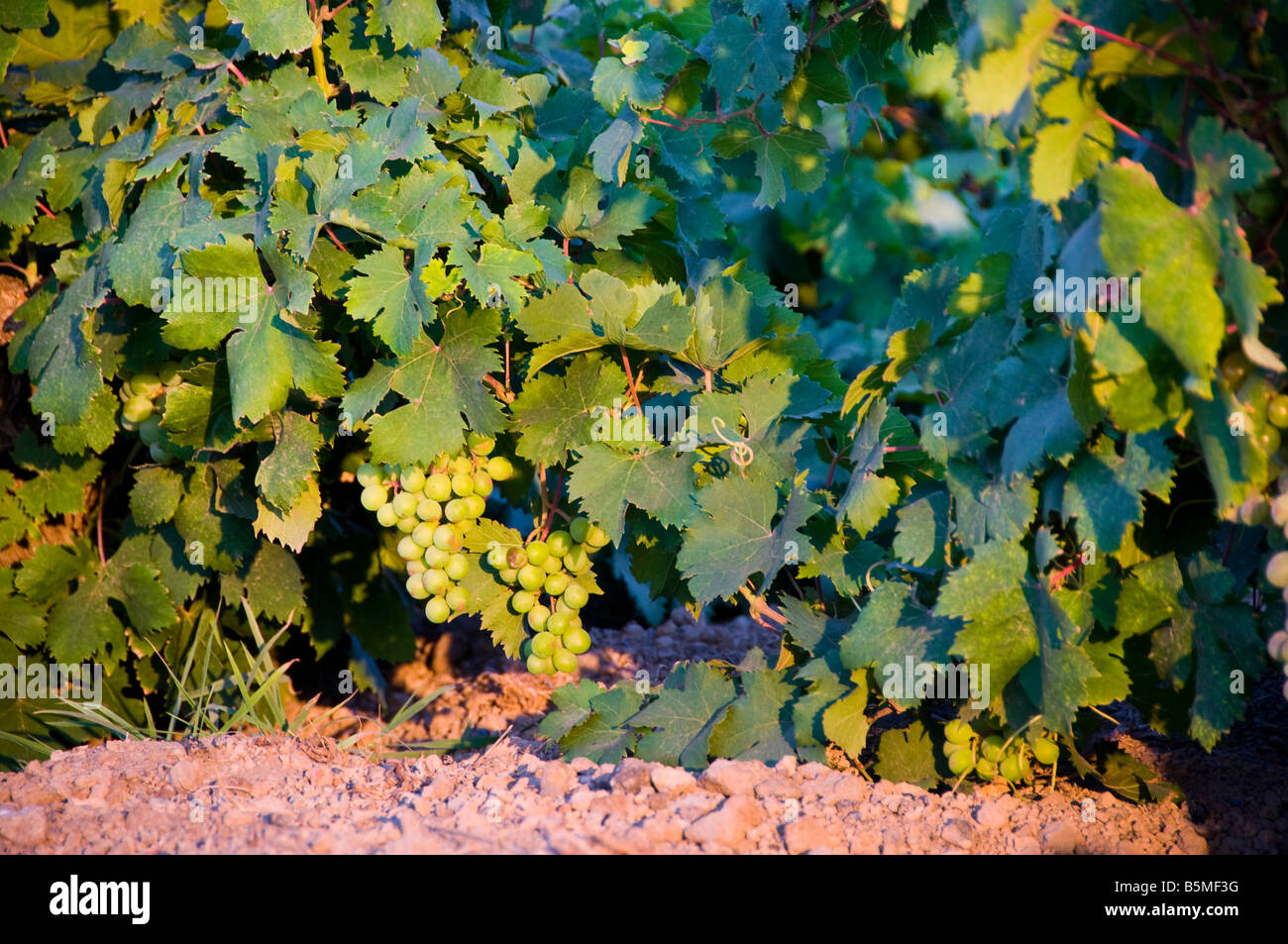 Moscato grapes known locally as Zibibbo grapes, Island of Pantelleria, Sicily, Italy. - Stock Image