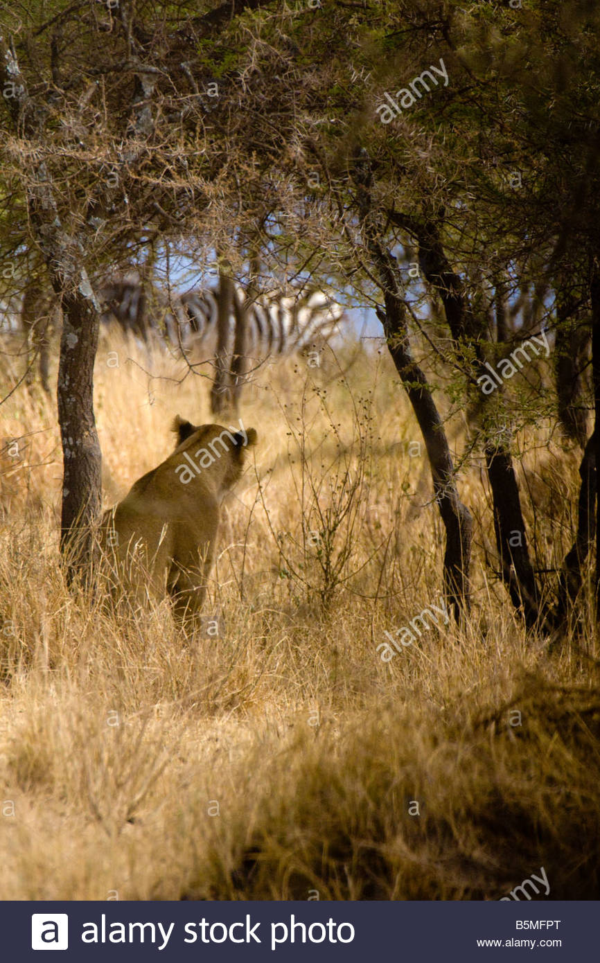 A lioness watches a zebra Serengeti National Park Tanzania - Stock Image