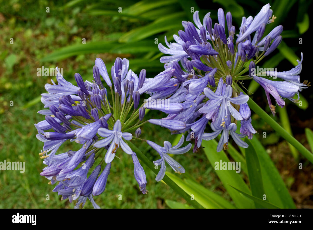 Agapanthus plant in bloom - Stock Image