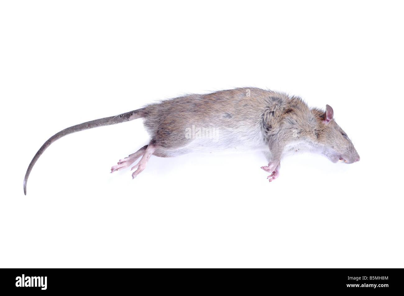 Dead rat lying on white background. - Stock Image