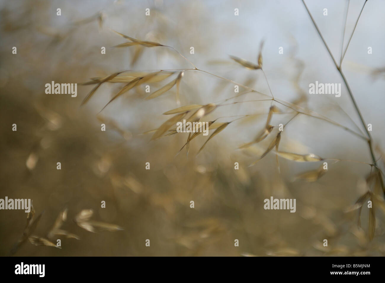 Close up of grass seed pods blowing in the wind in a field - Stock Image