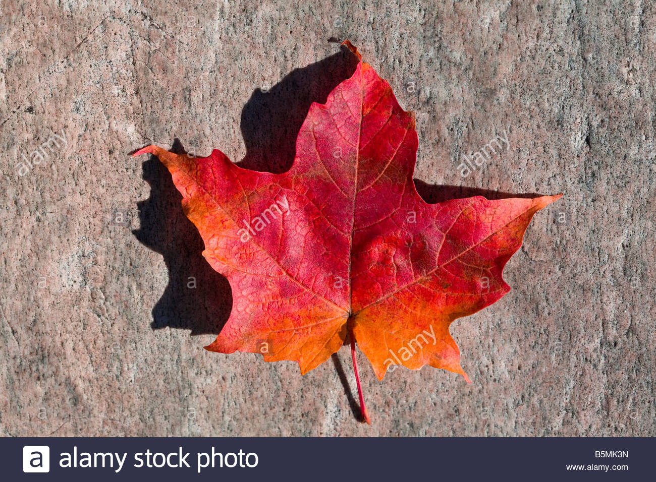 Maple Leaf High Resolution Stock Photography And Images Alamy