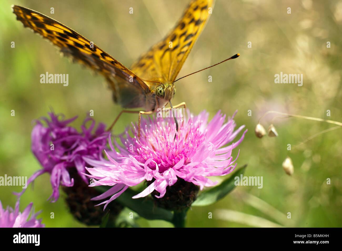 butetfly Argynnis paphia (Silver washed Fritillary) gathering nectar on centaurea jacea flower. - Stock Image