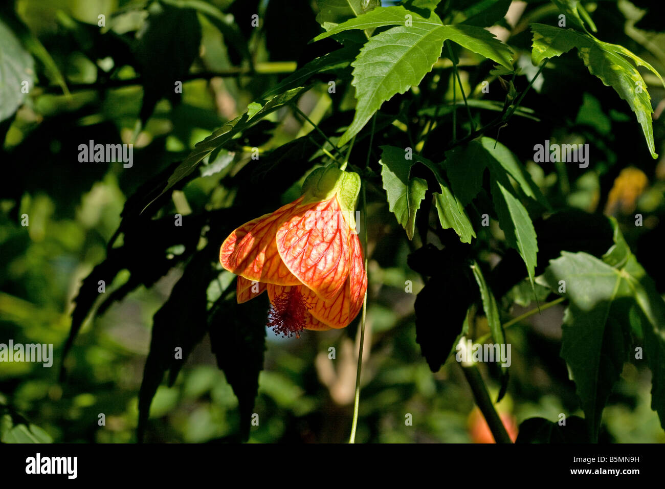 Red Vein Indian Mallow Abutilon Pictun Plant In Bloom Stock Photo