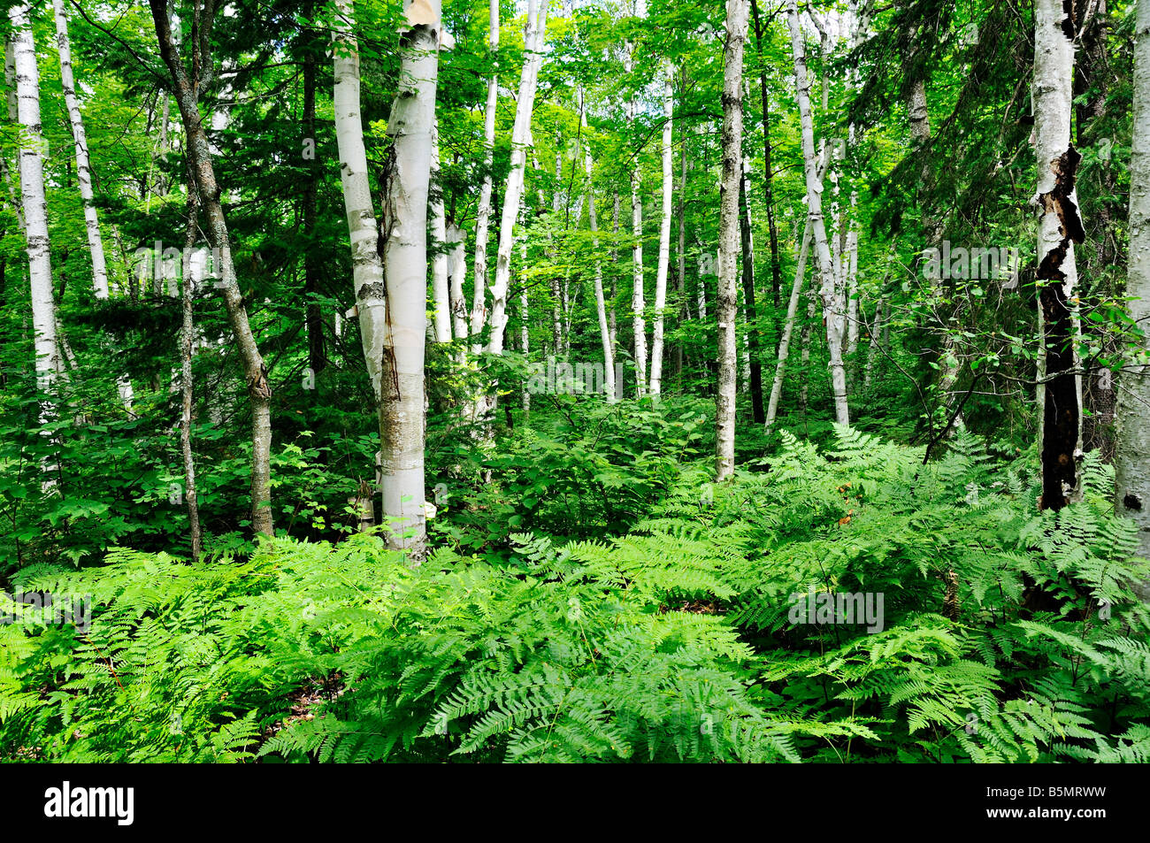 Birch Trees and green ferns in Algonquin Provincial Park in Ontario Canada - Stock Image