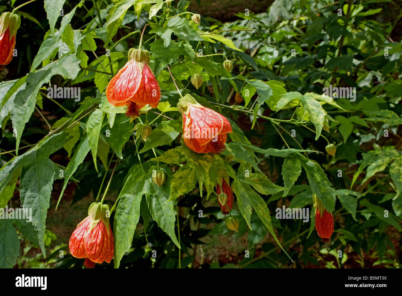 Red Vein Indian Mallow Abutilon Pictun Plant In Flower Stock Photo