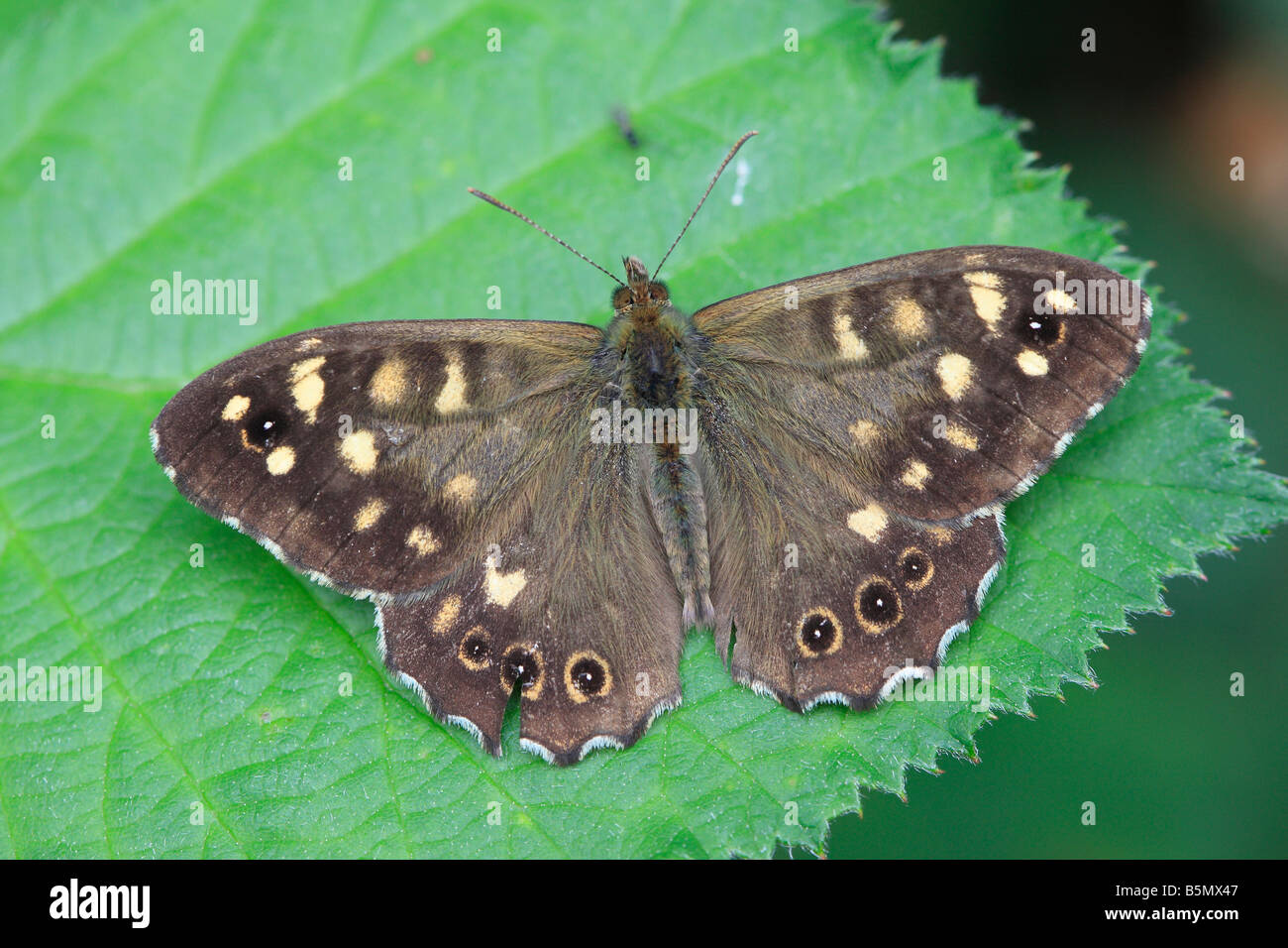 SPECKLED WOOD Pararge aegeria AT REST ON BRAMBLE LEAF - Stock Image