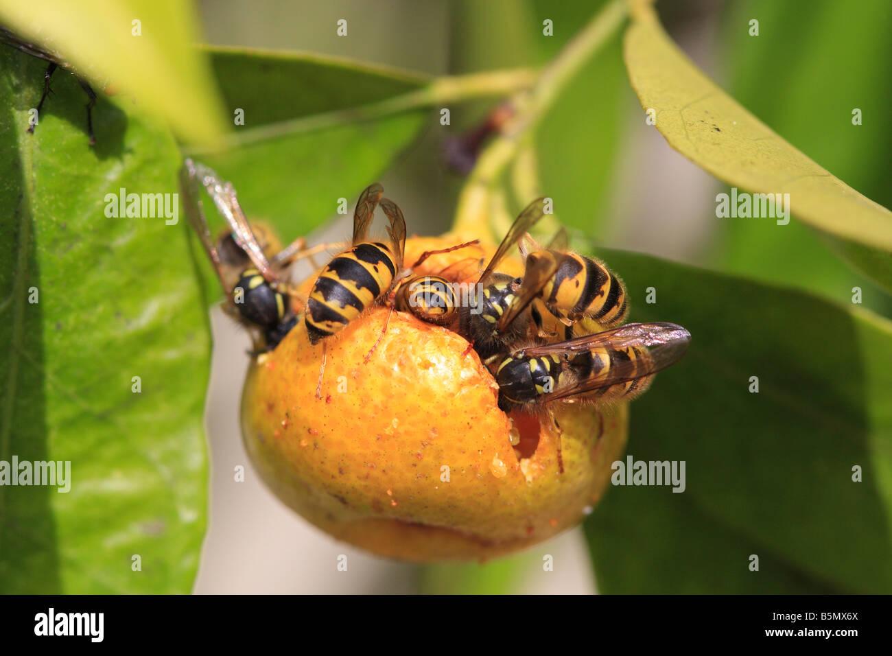COMMON WASP Paravespula vulgaris EATING CITRUS LEMON FLORENTINA - Stock Image