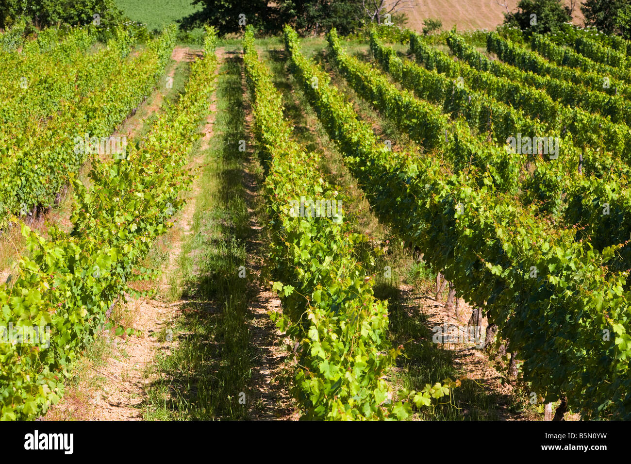 Rows of ripening vines in South West France Europe - Stock Image