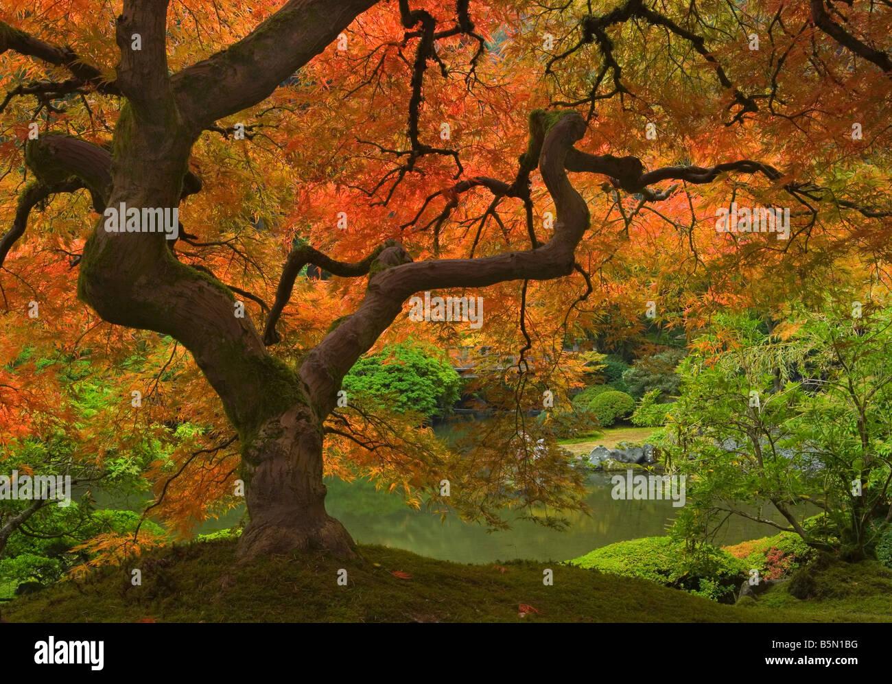 Japanese Maple, OR, fall, Portland Japanese Garden, Acer palmatum ...