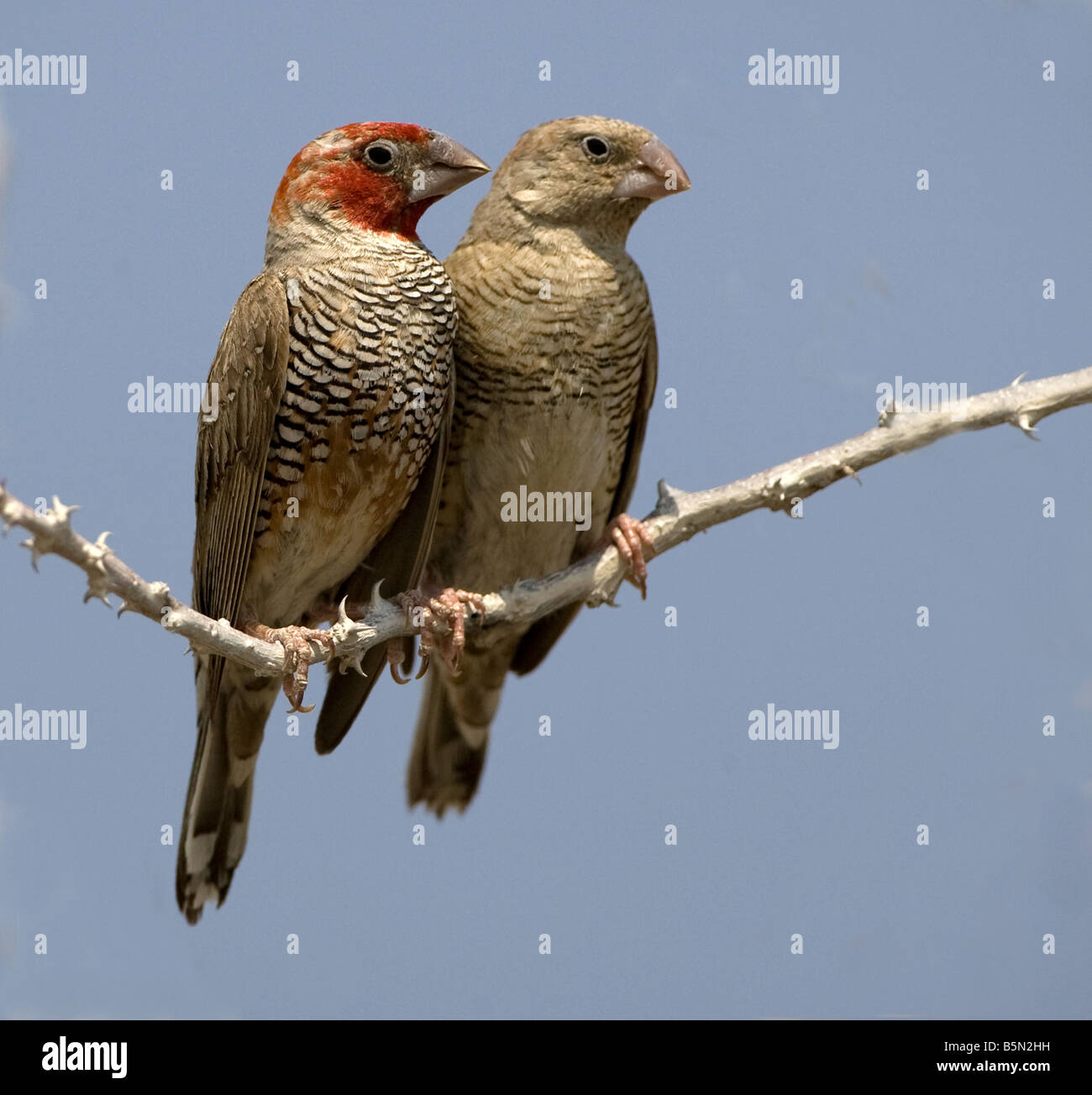 Redheaded finches perched in tree,Etosha,Namibia - Stock Image