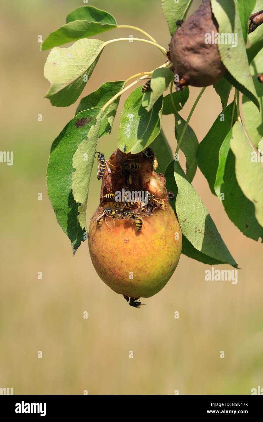 COMMON WASP Paravespula vulgaris FEEDING IN RIPE PEAR - Stock Image