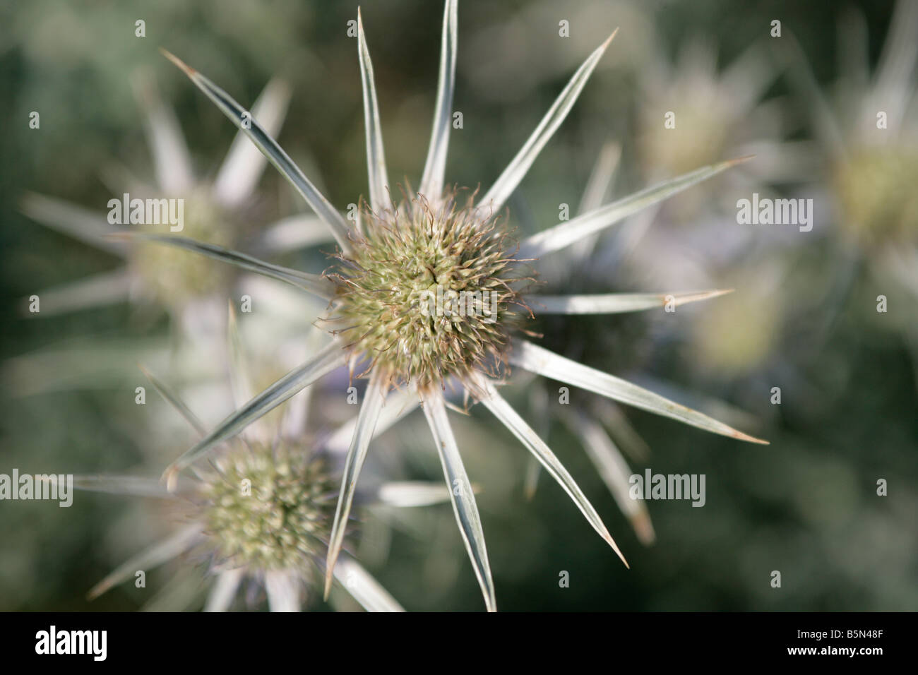 Eryngium thistles plant in bloom - Stock Image