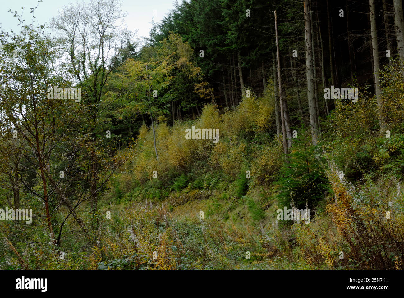Natural regeneration of Birch woodland on an Ancient Woodland Site previously planted with conifers - Stock Image
