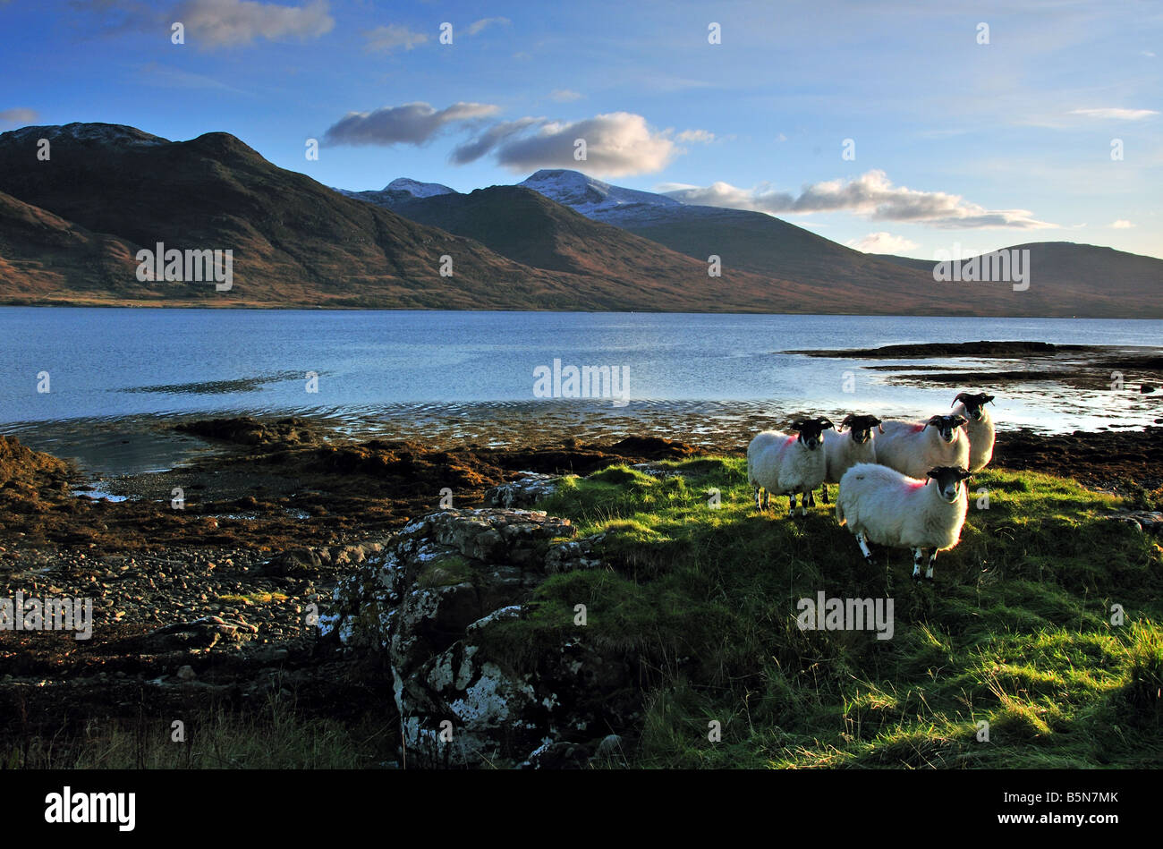 Black faced sheep on the shore of Lach na Keal, Isle of Mull, Scotland - Stock Image