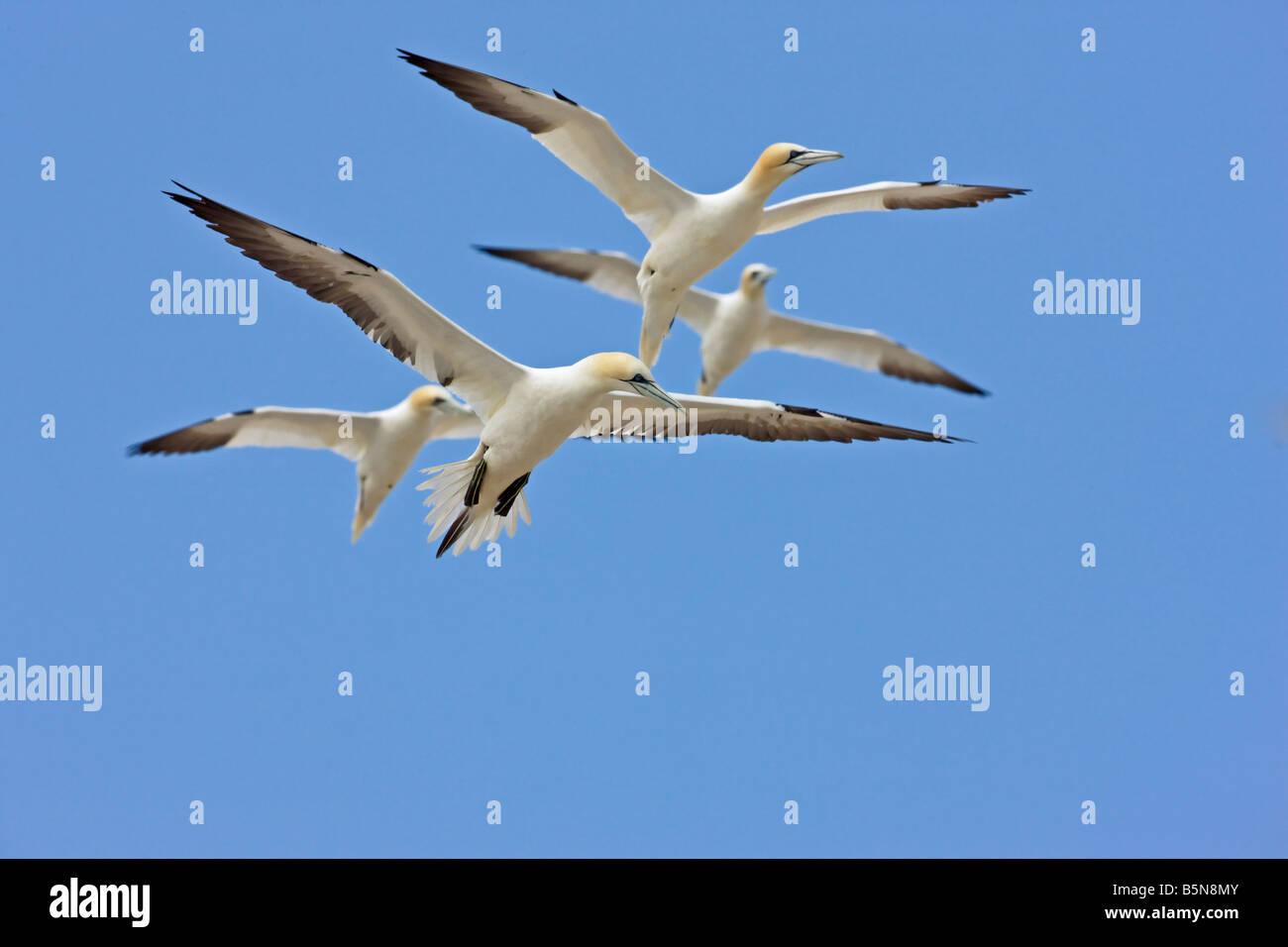 Morus bassanus, gannet. Non breeding club birds overflying the colony at Bass Rock Scotland - Stock Image