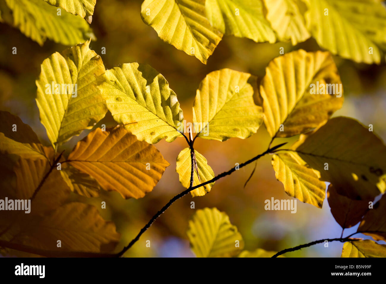 Branches of golden Beech leaves against a blue sky in Autumn - Stock Image