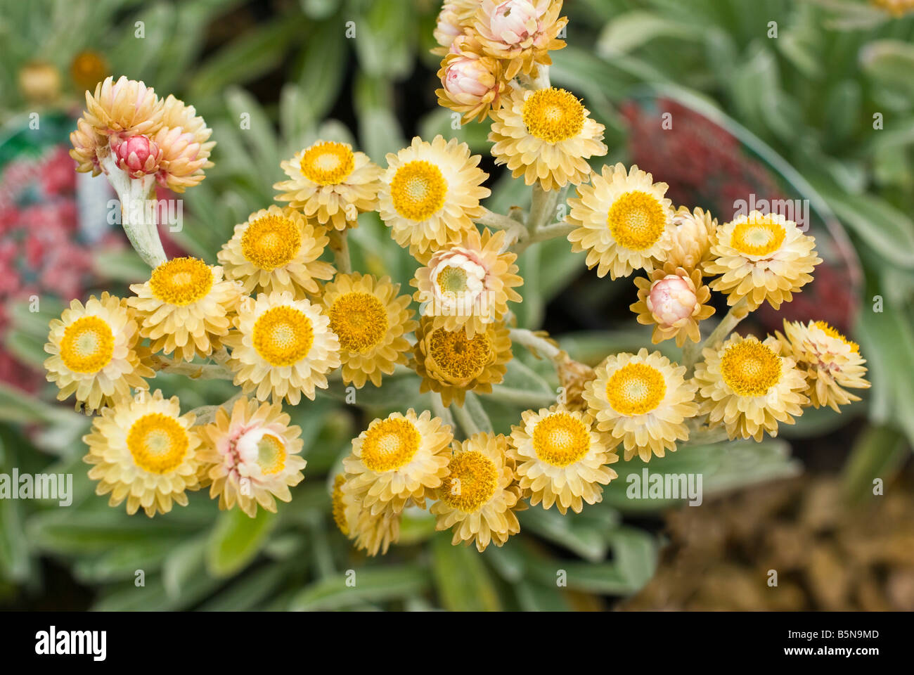 Helichrysum Ruby Cluster on sale in May - Stock Image