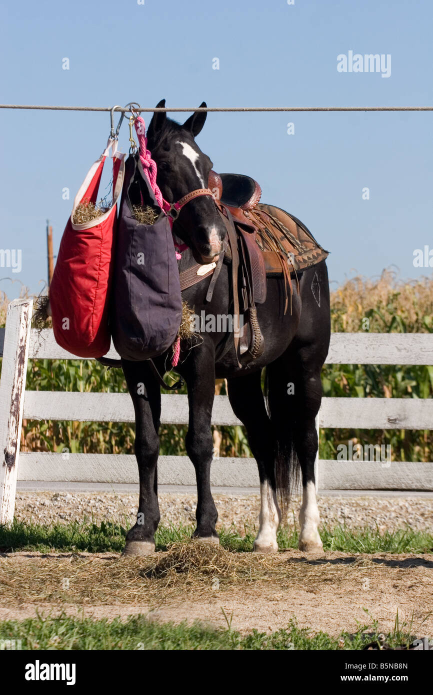 Black Horse Standing On Tie Line With Western Saddle On And Hay Bag Stock Photo Alamy