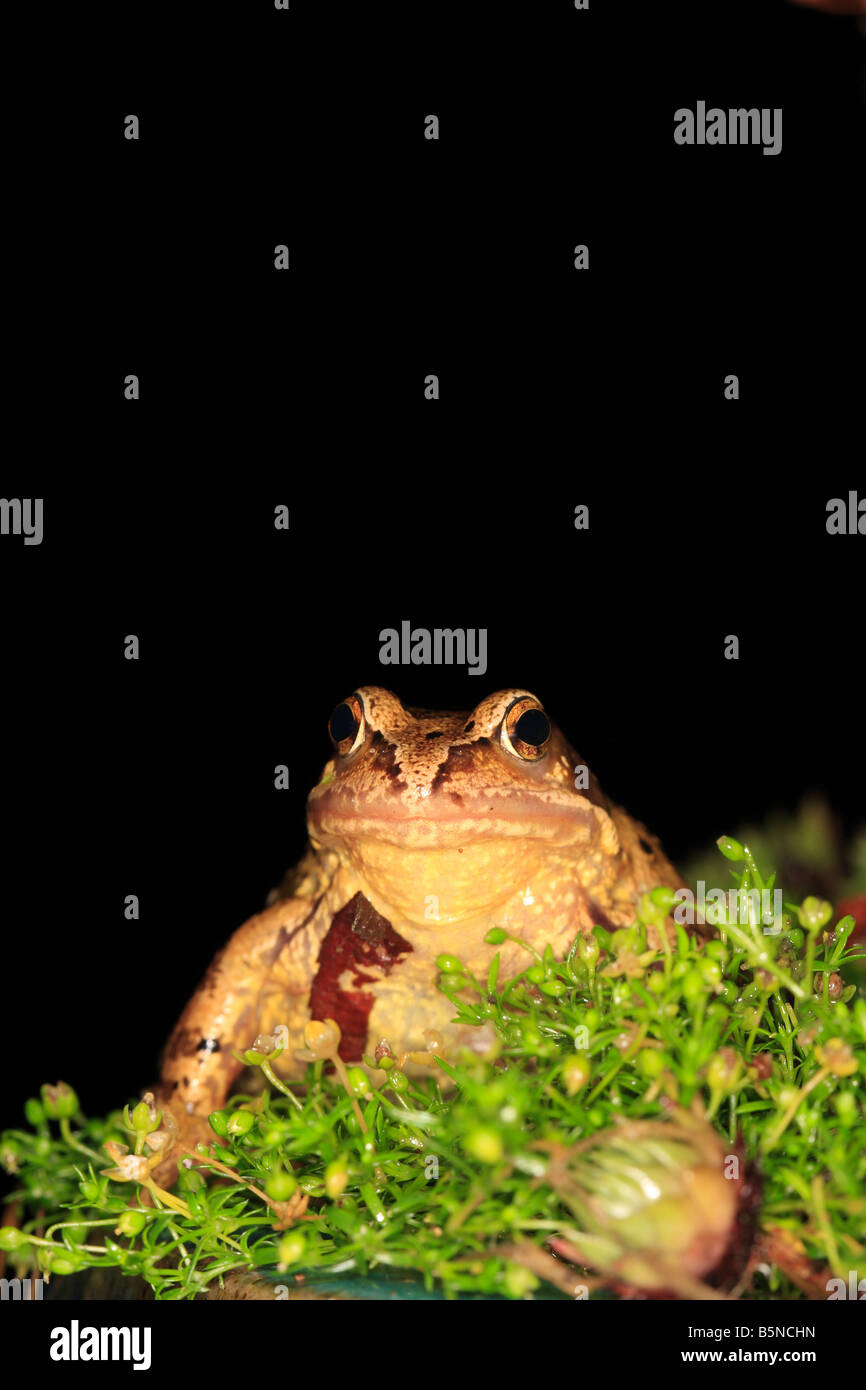 COMMON FROG Rana temporaria SITTING IN PLANT BORDER AT NIGHT FRONT VIEW - Stock Image