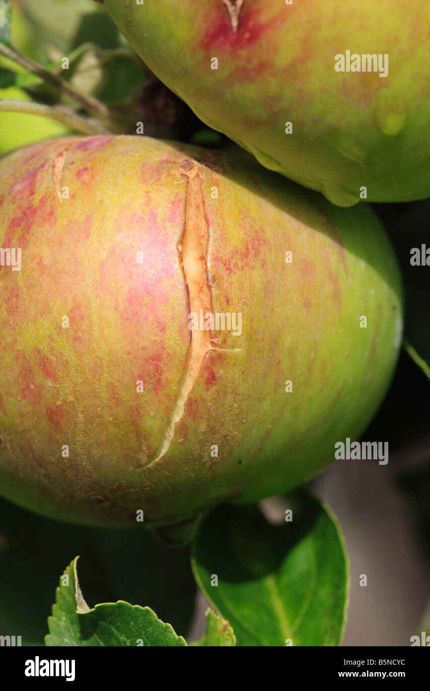 SPLITTING IN APPLE USUALLY CAUSED BY WET WEATHER FOLLOWING DRY SPELL - Stock Image