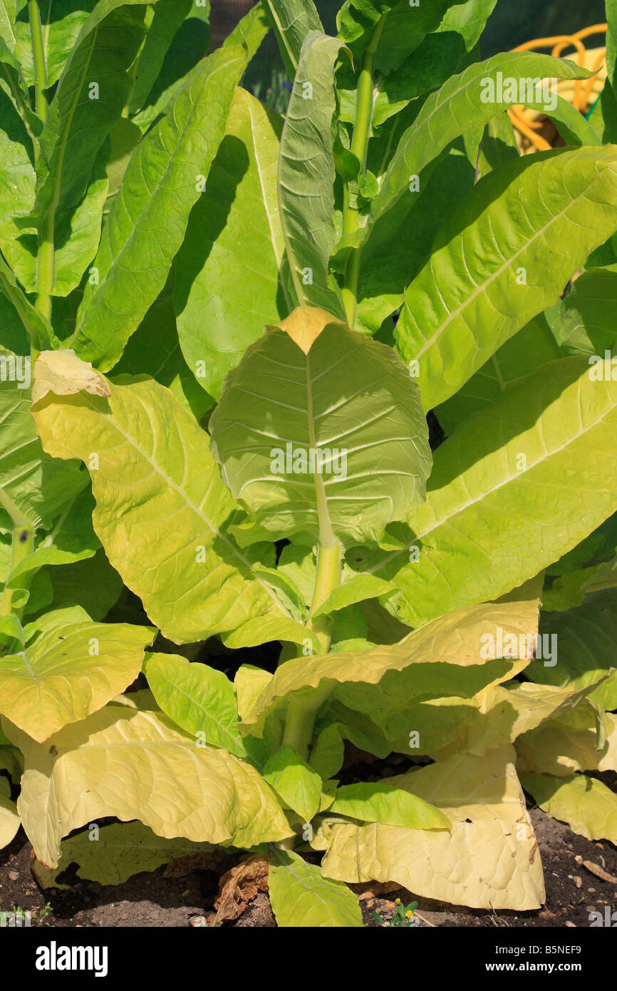 TOBACCO PLANT CLOSE UP OF MATURING LEAVES - Stock Image